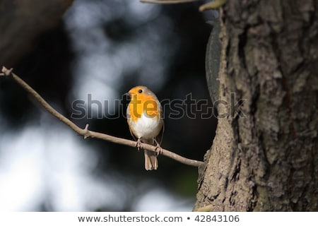 brindille · arbre · de · pin · monochrome · arbre · orange · oiseau - photo stock © rekemp