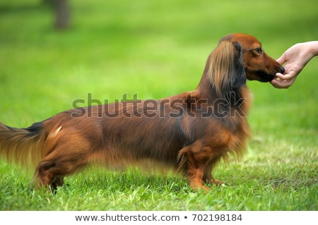 Dachshund Standard Long-haired on a green grass Stock photo © CaptureLight