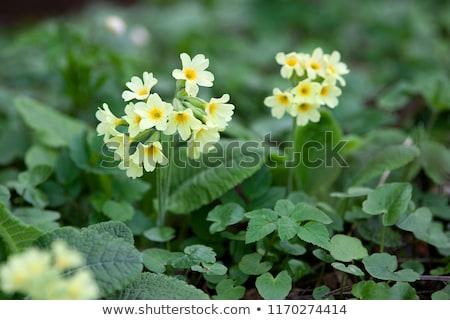 Prímula floresta paisagem beleza natureza primavera Foto stock © Kotenko