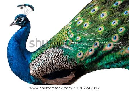 павлин · зеленый · саду · фон · танцы · птица - Сток-фото © fotoyou