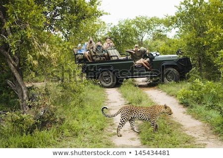 Leopard drzewo parku Południowej Afryki wspinaczki na zewnątrz Zdjęcia stock © simoneeman