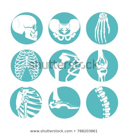 Különböző emberi csontok fehér iskola tudomány Stock fotó © bluering
