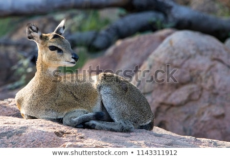A female Klipspringer laying on a rock in the Kruger. Stock photo © simoneeman