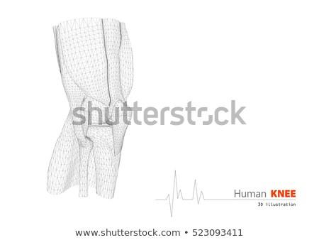 sağlıklı · insan · bacak · diz · anatomi · parlak - stok fotoğraf © tefi