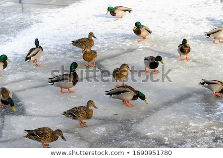 Congelada lagoa aves gansos gaivotas parque Foto stock © Hofmeester
