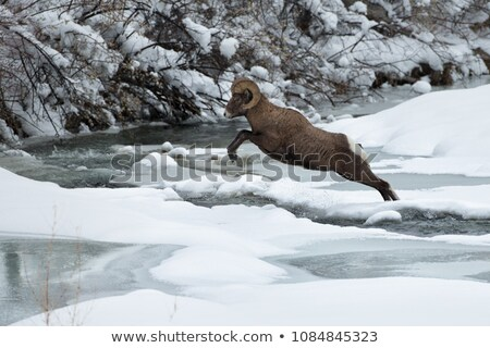 Bighorn Sheep in winter Stock photo © pictureguy