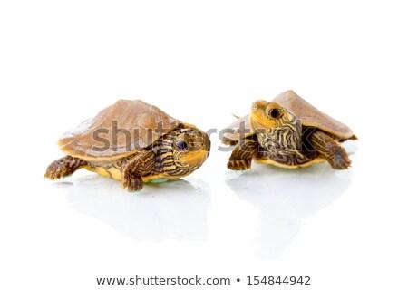Kettő baba teknősök fehér illusztráció terv Stock fotó © bluering