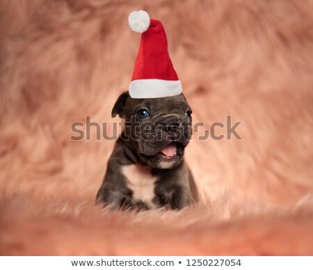 little american bully puppy wearing santa hat is barking Stock photo © feedough