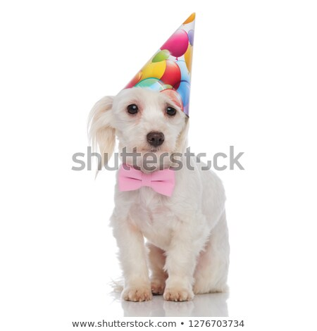 gentleman bichon with birthday hat stands  Stock photo © feedough