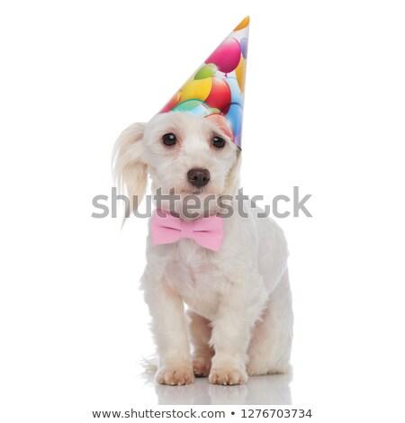 gentleman bichon with birthday hat stands stock photo © feedough