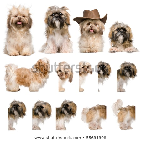 side view of adorable shih tzu standing and looking up stock photo © feedough