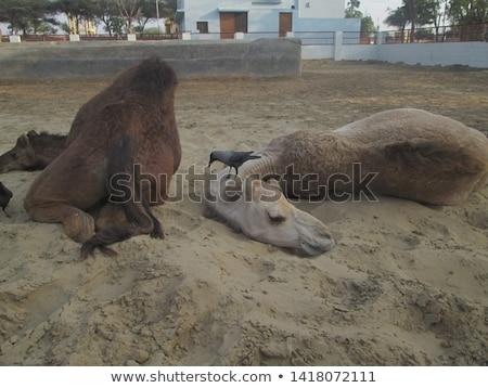 camelos · deserto · dois · camelo · olhando · sol - foto stock © galitskaya