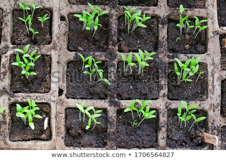 Garden seedlings on wood Foto stock © mythja