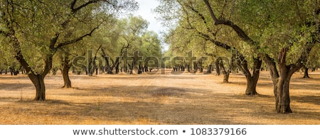 Mediterranean garden with olive tree Stock photo © brebca