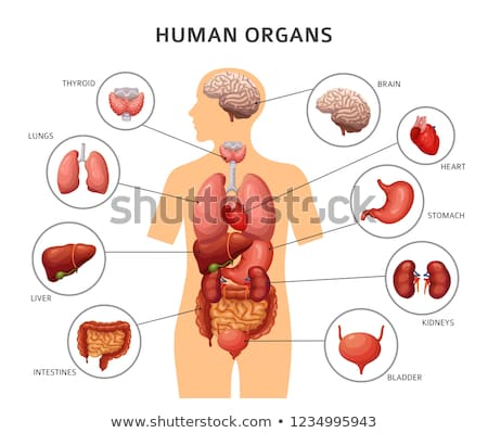 Anatomical Organ Human Brain Color Vector Stock photo © pikepicture