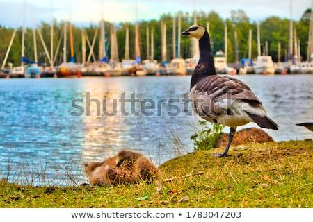 Cute pato dormir hierba ilustración fondo Foto stock © bluering