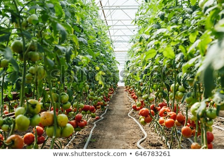 Piros zöld kiválasztott paradicsomok üvegház bokrok Stock fotó © ruslanshramko