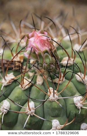Barrel Cactus Stock photo © craig