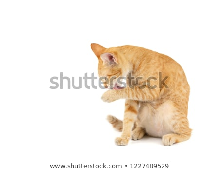 Chat Homme nettoyage propre chaton Photo stock © fxegs