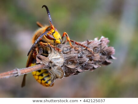 European hornet, Vespa crabro Stock photo © erierika