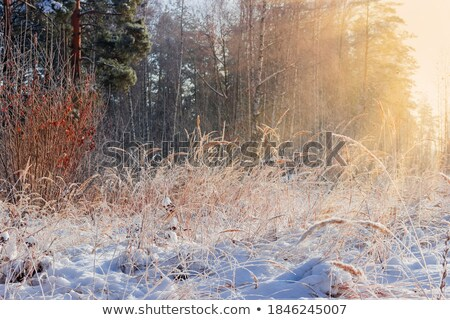 Tall winter grass in sunlight stock photo © duoduo