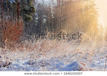 lang · winter · gras · zonlicht · heldere · Blauw - stockfoto © duoduo