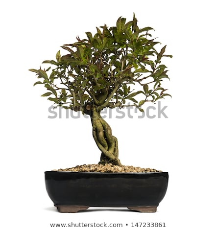 bonsai baum blumen wei hintergrund blume stock foto antonio scarpi antonio s. Black Bedroom Furniture Sets. Home Design Ideas