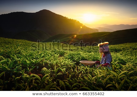 Chá plantação Malásia Foto stock © rbiedermann