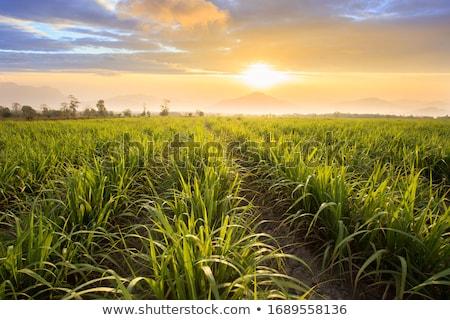 Zuckerrohr Bereich Felder Kultur tropischen Thailand Stock foto © stoonn