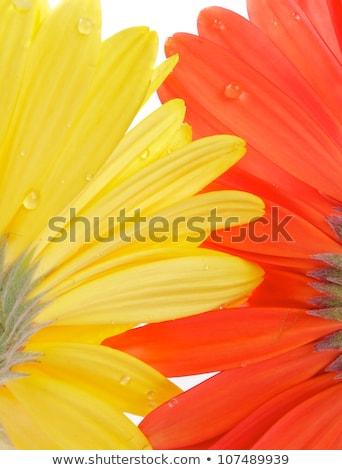 macro · flor · reflexão · vermelho - foto stock © zhekos