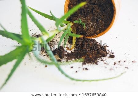 gardener repot young aloe vera plants Stock photo © juniart