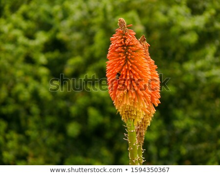 Bumblebee on Torch Lily Stock photo © macropixel
