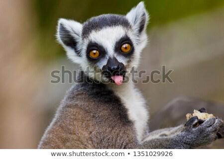 maki · Madagascar · jeunes · jouer · sol · bébé - photo stock © njaj