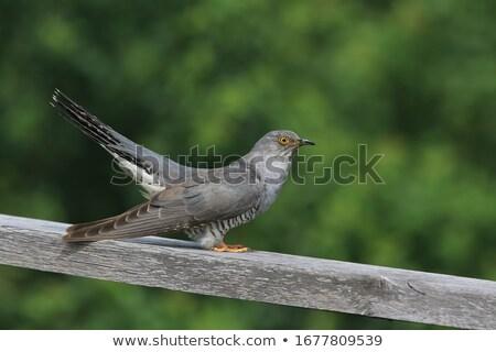 Koekoek illustratie natuur veer dieren vleugels Stockfoto © perysty
