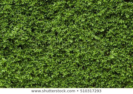 緑 壁 ツタ 葉 自然 テクスチャ ストックフォト © kornienko