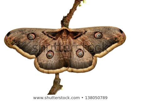 Great Southern White Moth Close Up Stock photo © billperry