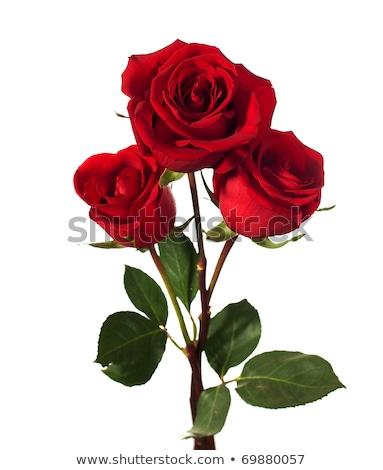Red rose on stalk Stock photo © wavebreak_media