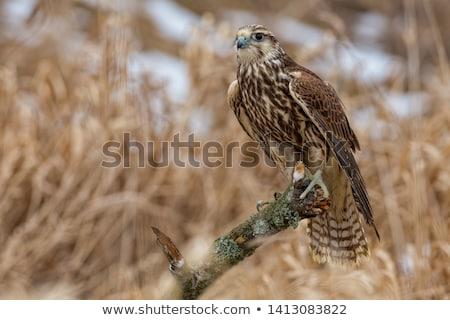 Valk oog natuur vogel Bill Stockfoto © dirkr