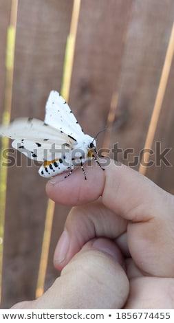 Moth Preparing to Fly Stock photo © rhamm