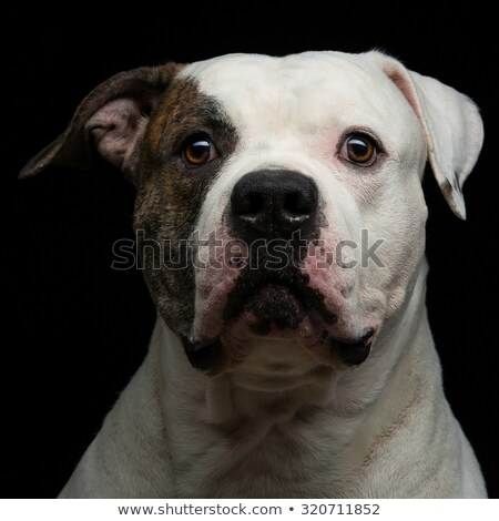 American Bulldog Dog Portrait On Black Background Stok fotoğraf © Svetography