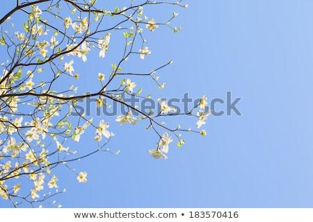fehér · virágzó · fa · Florida · virágzik · napfény - stock fotó © shihina