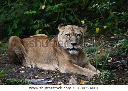 lioness resting on ground Stock photo © alex_grichenko