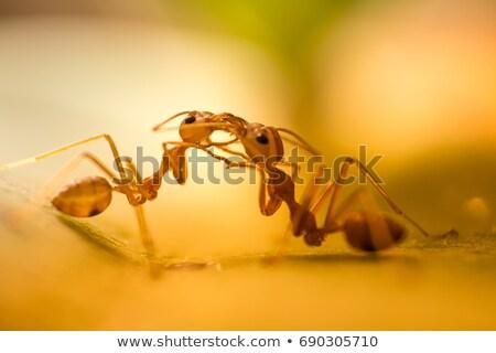 Iki karıncalar karşılamak yeşil yaprak meşgul kırmızı Stok fotoğraf © Anterovium