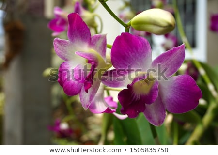 Dendrobium orchid hybrids is white and pink Stock photo © Yongkiet