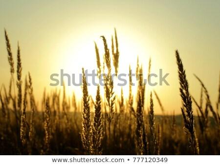 Golden Weizenfeld Sonne Aufgang blauer Himmel Himmel Stock foto © deandrobot