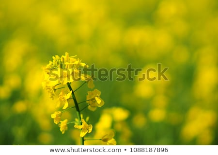 Oilseed Rapeseed Flower Close up in Cultivated Agricultural Field Stock photo © stevanovicigor