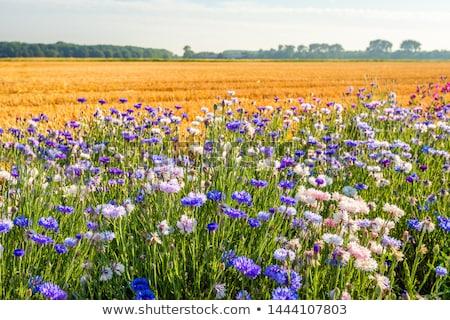 On the edge of a cornfield  Stock photo © CaptureLight