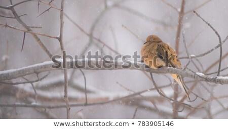 Gyász galamb tél madár Kanada természet Stock fotó © pictureguy