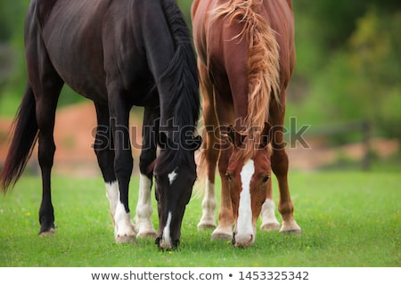 brown horses grazing stock photo © oleksandro