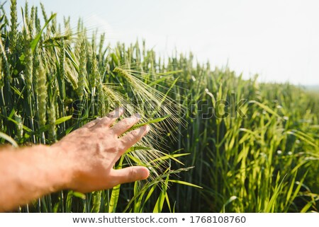 ответственный фермер пшеницы растений роста Сток-фото © stevanovicigor